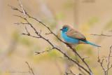 Blue Waxbill - Angolees blauwfazantje
