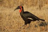 Southern Ground-Hornbill - Zuidelijke hoornraaf