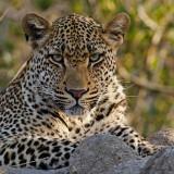 Leopard - Luipaard