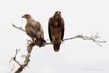 Tawny Eagle -Savannearend