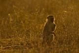 Vervet Monkey - Groene meerkat