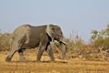 Elephant - Olifant