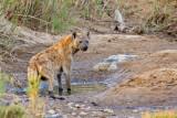 Spotted Hyena - Gevlekte hyena