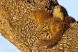 Tree Squirrel - Boom eekhoorn