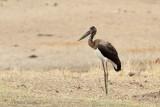 Saddle-billed Stork - Zadelbekooievaar