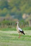 Stork - Ooievaar