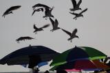 People, Birds & Drums  at  Siesta  Key