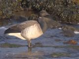 Pale-bellied Brent Goose, Bruichladdich-Loch Indaal, Islay