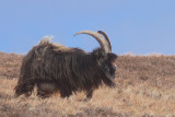 Wild Goat, Mull of Oa, Islay
