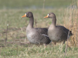 Greenland White-fronted Goose, Gruinart, Islay