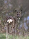 Roe Deer, Easterbraes, Motherwell