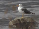 Lesser Black-backed Gull, Sallochy Bay-Loch Lomond, Clyde