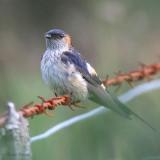 Asian Red-rumped Swallow, Talisker Bay, Isle of Skye