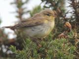 Willow Warbler, Talisker Bay, Isle of Skye