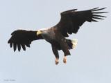White-tailed Eagle, Portree, Isle of Skye