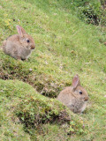 Rabbits on the Table, Storr, Isle of Skye