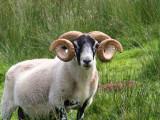 Black faced ram, Talisker, Isle of Skye
