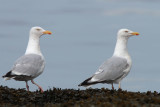 Herring Gulls, Ardmore Point, Clyde