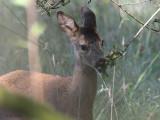 Roe Deer, Auchingyle Wood, Loch Lomond NNR