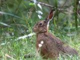 Brown Hare, Gartfairn Wood, Loch Lomond NNR
