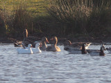 Ross's Goose, Monk's House Pond, Northumberland