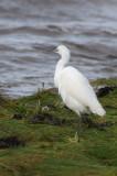 Little Egret, Ardmore Point, Clyde