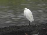 Little Egret, Vane Farm RSPB, Perth&Kinross