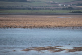 Pale-bellied Brent Geese, Holy Isle