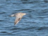 Curlew, Holy Isle