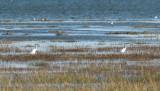 Little Egrets near the Holy Isle causeway