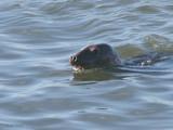 Grey Seal, Holy Isle