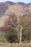 Ancient survivor, Loch Lomond NNR