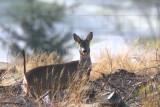Roe Deer, Craigallian Loch, Clyde