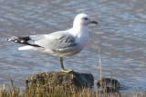 Common Gull, Rowardennan, Clyde