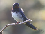Barn Swallow, Gruinart RSPB, Islay, Argyll