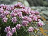 Sea Pink, Machir Bay, Islay, Argyll