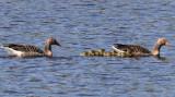 Greylag Goose, Loch Indaal, Islay, Argyll