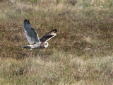 Short-eared Owl, Benbecula