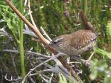 Hebridean Wren, Benbecula