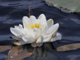 Water Lily, Loch na Deigha fo Dheas, Benbecula