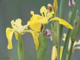 Marsh Iris, Loch Mor, Benbecula