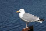 Herring Gull, Lochmaddy, North Uist