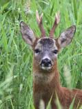 Roe Deer, Baron's Haugh RSPB, Motherwell