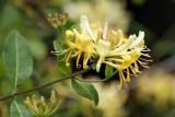 Honeysuckle, Shore Wood-Loch Lomond