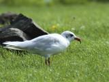 Mediterranean Gull, Buckhaven, Fife