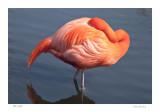 Flamingo,  at Rest