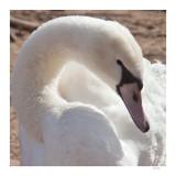 Swan in repose