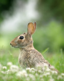 Rabbit in Clover