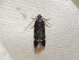 1032   Neofriseria peliella  054.jpg