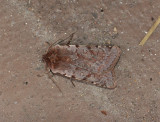3054   Cerastis rubricosa  148.jpg